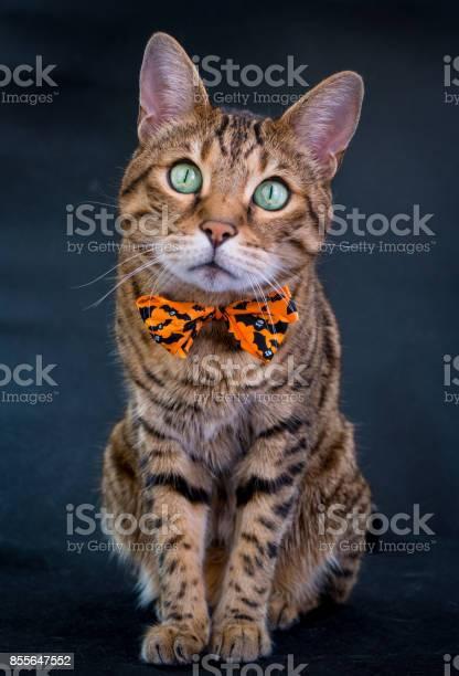 Halloween cat stock photo picture id855647552?b=1&k=6&m=855647552&s=612x612&h=0ouomarmlqf72pj6glkm9do22hkrwn ielnykcmfc6e=