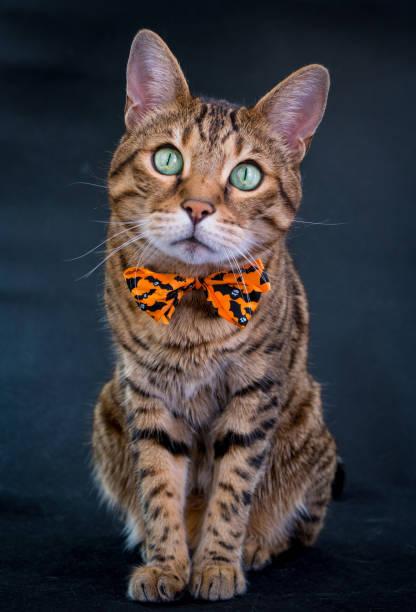 Halloween cat stock photo picture id855647552?b=1&k=6&m=855647552&s=612x612&w=0&h=hspxii1zfvkt1elvzsnflrwkwequ5lwn p7  9rlklc=