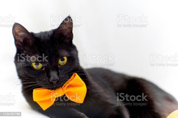 Halloween cat with an orange bow tie picture id1124737792?b=1&k=6&m=1124737792&s=612x612&h=liqteogfztvtsdjho95e2vbypz8dg8ruwfc5vlwrj0i=