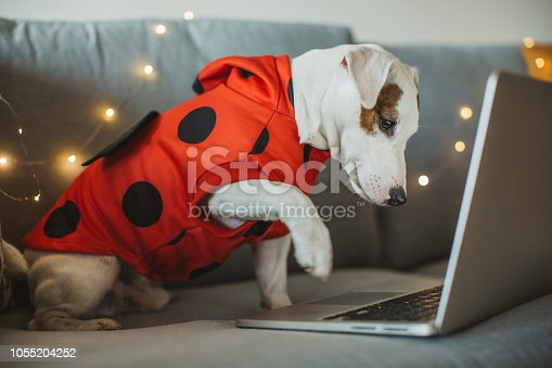 Dog celebrating Halloween at home, dog is wearing costumes and enjoy in holiday.