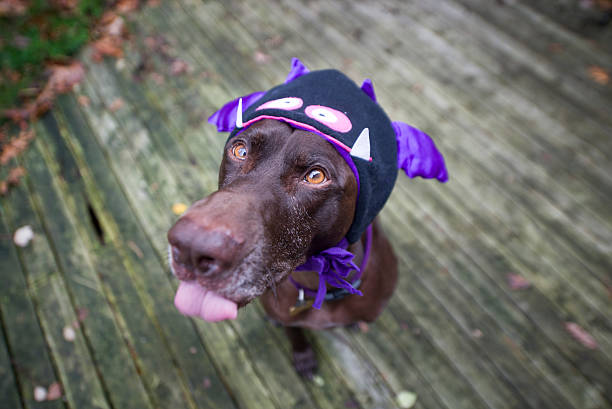 Halloween Dog Dog in monster costume pet clothing stock pictures, royalty-free photos & images