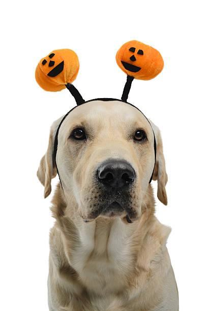 Halloween dog picture id518382020?b=1&k=6&m=518382020&s=612x612&w=0&h=v0vfzvalepttwhw ouqejaxd7ofe 5ux iai 8jvghm=