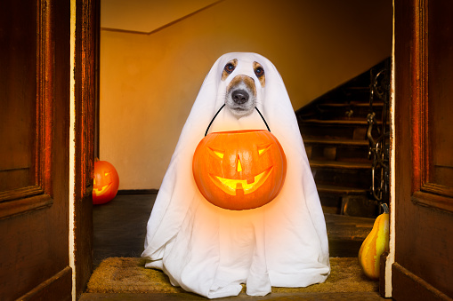 dog sit as a ghost for halloween in front of the door  at home entrance with pumpkin lantern or  light , scary and spooky