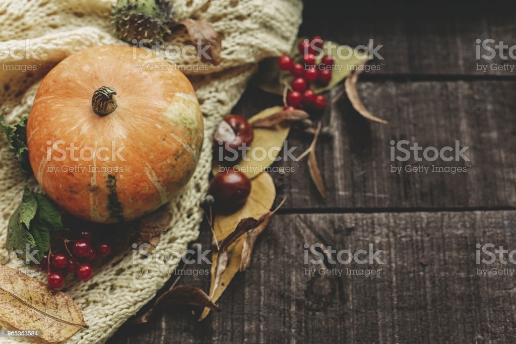 halloween or thanksgiving concept greeting card fall flat lay. beautiful pumpkin on knitted sweater with leaves on rustic wooden background, top view. space for text.  cozy autumn mood. holiday royalty-free stock photo
