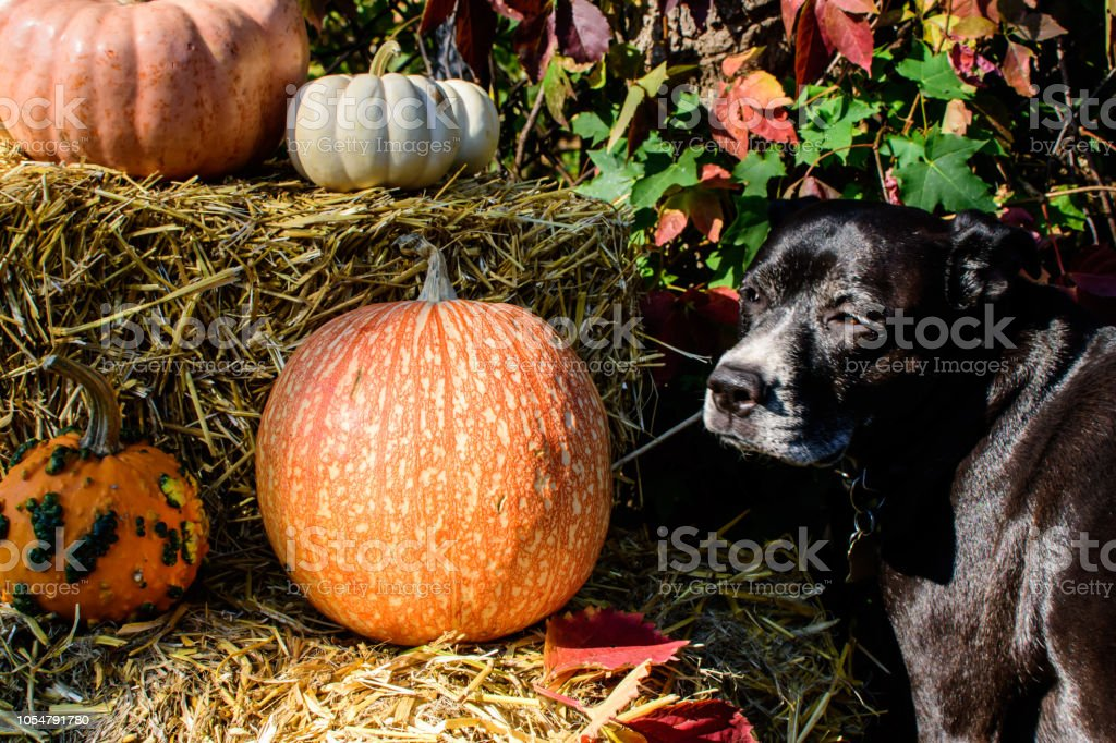Halloween or Thanksgiving dog with pumpkins in autumn stock photo