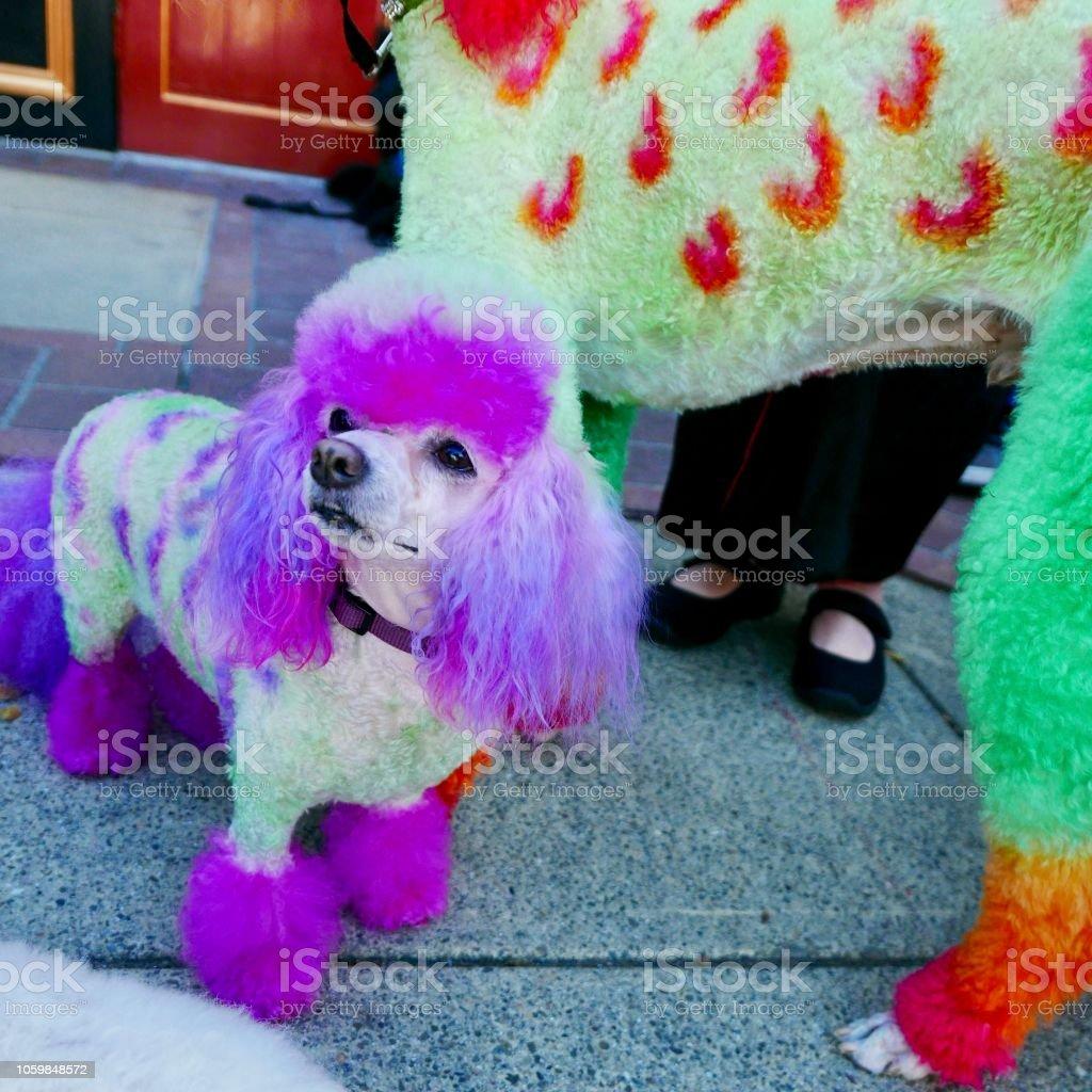 Photo Libre De Droit De Caniches De Halloween Banque D Images Et Plus D Images Libres De Droit De Adoption D Un Animal Istock