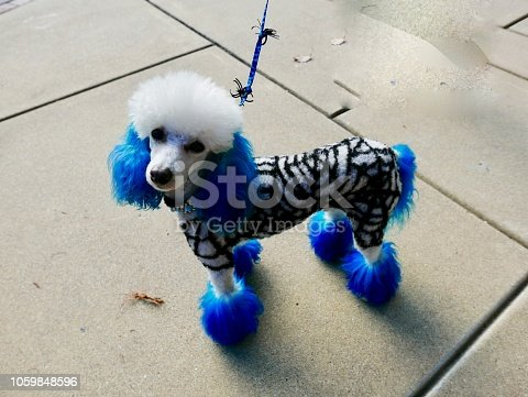 Carmel, California.  USA  October, 7th, 2018  Poodle rescue organization of Northern california shows off it's poodles in Halloween Decor.
