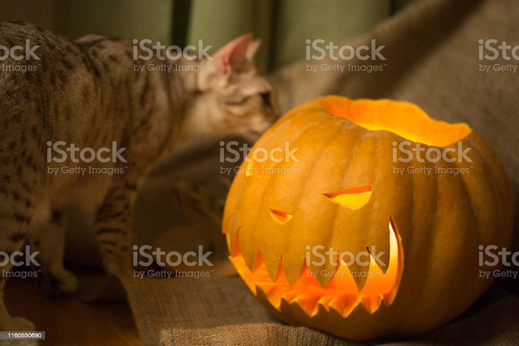 Halloween concept. Cat and pumpkin. Jack-o-lantern. Curious ocicat...