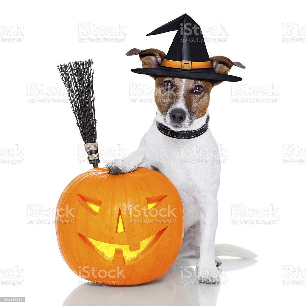 halloween pumpkin witch dog royalty-free stock photo