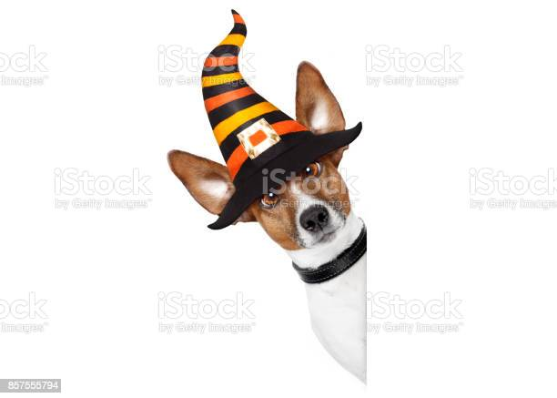 Halloween pumpkin witch dog picture id857555794?b=1&k=6&m=857555794&s=612x612&h=0cx2as6opm96tljezilfljixsfm3wrac4awbcqp3jhk=