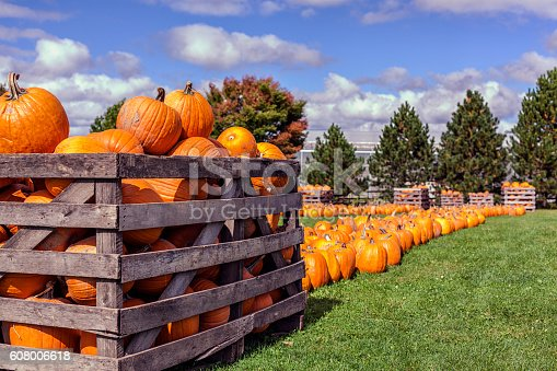 Fresh, recently harvested, yellow orange pumpkins - for sale at a rural farm stand to be carved into Halloween jack o' lanterns - under a sunny autumn October sky in western New York State. The wooden crates are piled high with dozens of these large winter squash fruits, and the grass field is lined with rows and rows of symbolic traditional holiday americana for Halloween or Thanksgiving holiday celebrations.