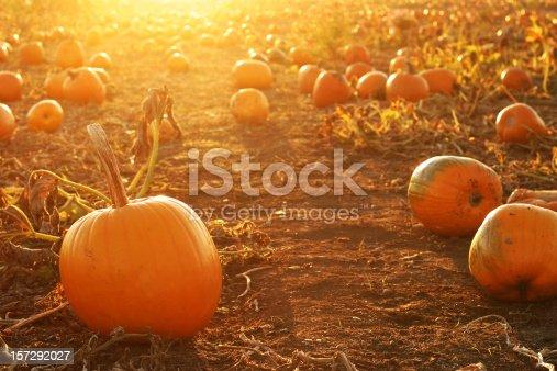 Pumpkin patch in the setting sun