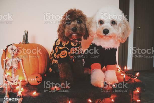 Halloween puppies picture id1055990730?b=1&k=6&m=1055990730&s=612x612&h= qbwd9abcknqlmokvbcc9x1xbwylzjk7opoydjd2yik=