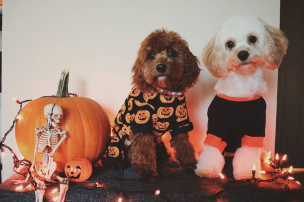 Halloween Puppies cute fluffy puppies ready for Halloween pet clothing stock pictures, royalty-free photos & images