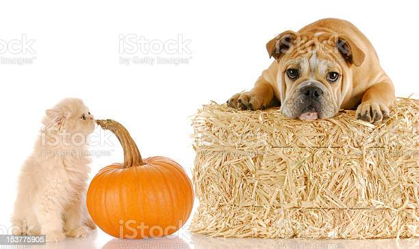 Halloween puppy and kitten picture id153775905?b=1&k=6&m=153775905&s=612x612&h=twgfu5w98ewxtluhaziytl6yorssnsfae8mde4vpiwg=