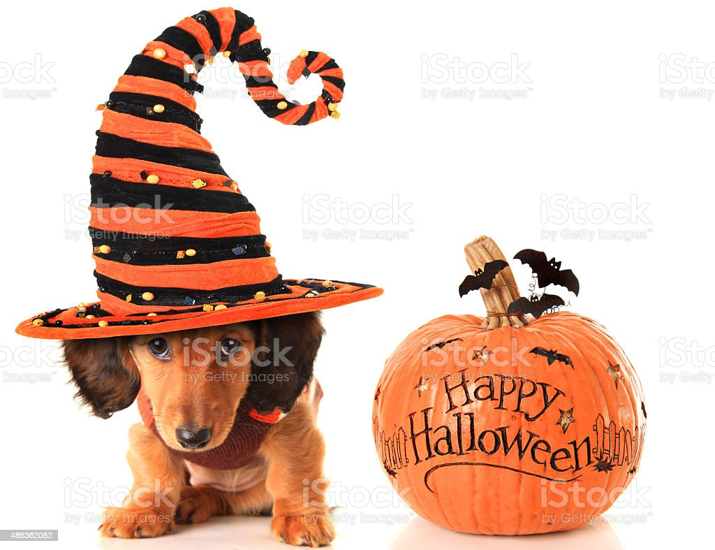 Halloween puppy and pumpkin stock photo