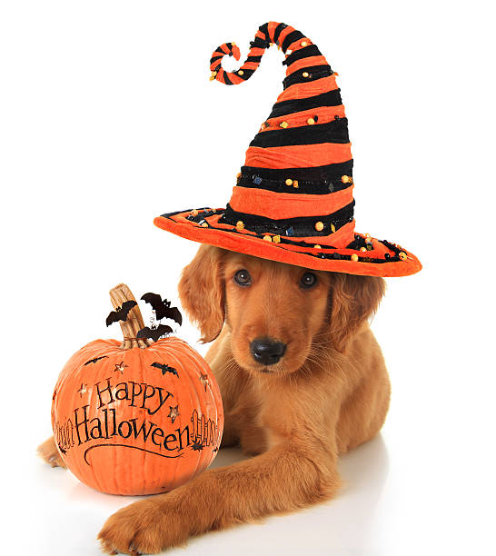 Halloween puppy Cute Halloween puppy with a pumpkin. pet clothing stock pictures, royalty-free photos & images