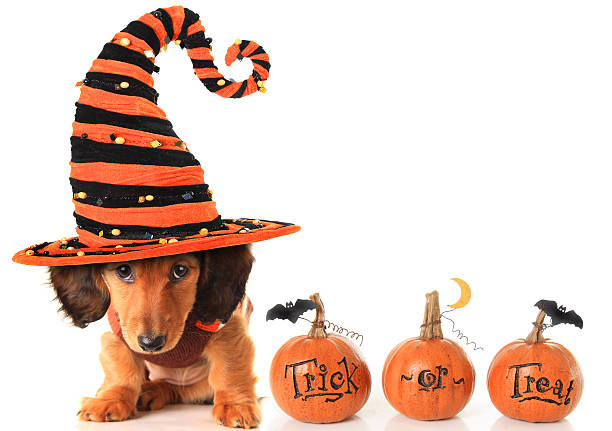Halloween puppy Halloween dachshund puppy wearing a Halloween witch hat plus pumpkins. pet clothing stock pictures, royalty-free photos & images