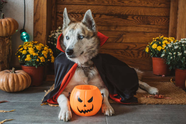 Halloween vampire dog Domestic dog on porch dressed in vampire costume for Halloween pet clothing stock pictures, royalty-free photos & images