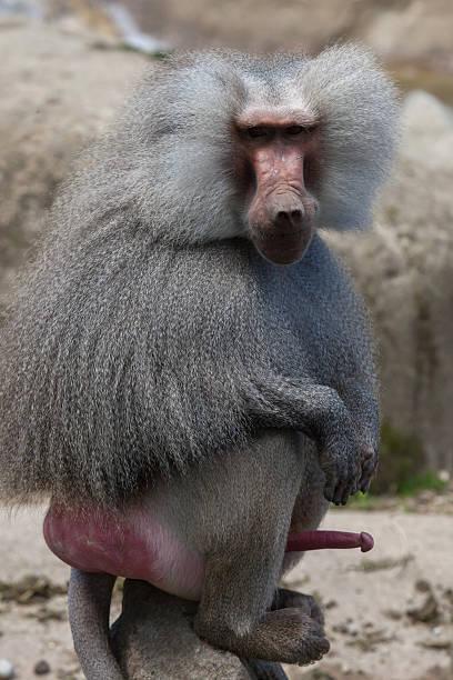 mantelpavian (papio hamadryas). - tierpenis stock-fotos und bilder