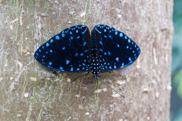 A Hamadryas laodamia butterfly. stock photo
