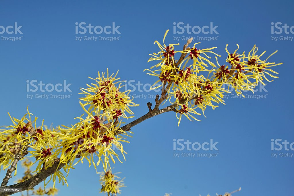 hamamelis in front of blue sky royalty-free stock photo