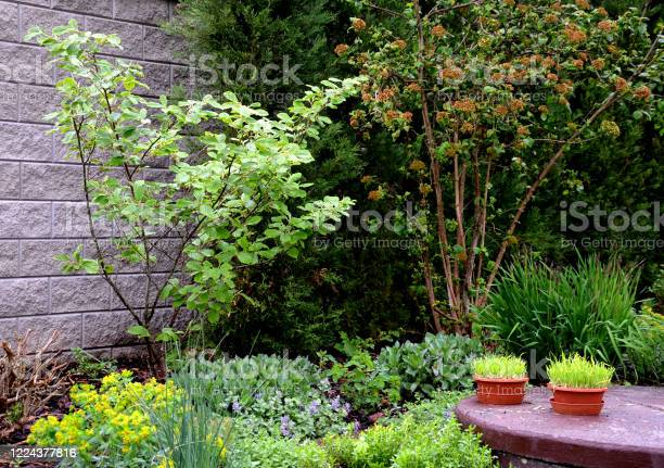 Photo of Hamamelis japonica garden flowerbed with shrubs and perennials on the well two flowerpots with spring grain and a lawn
