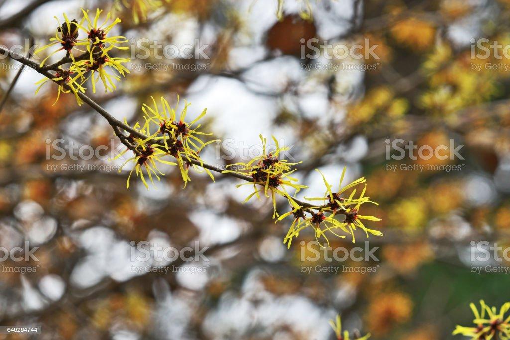 Hamamelis Japonica Stock Photo Download Image Now Istock