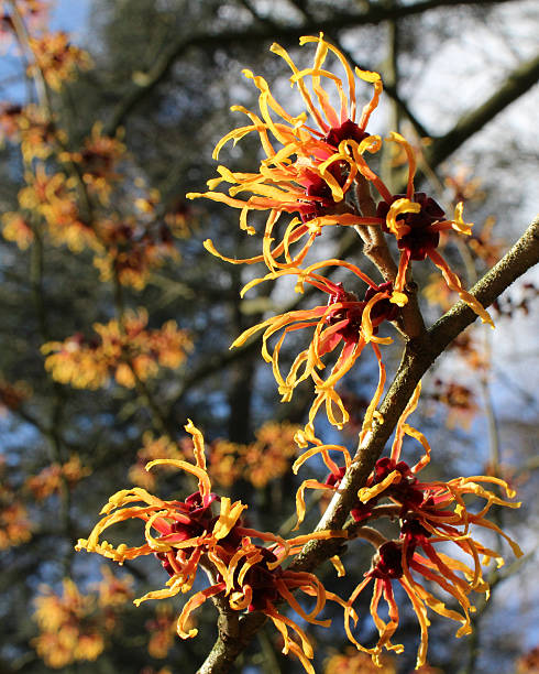 Hamamelis mollis The sunlit flowers of Hamamelis mollis also known as Chinese Witch Hazel, a winter flowering shrub native to China. saxifragales stock pictures, royalty-free photos & images