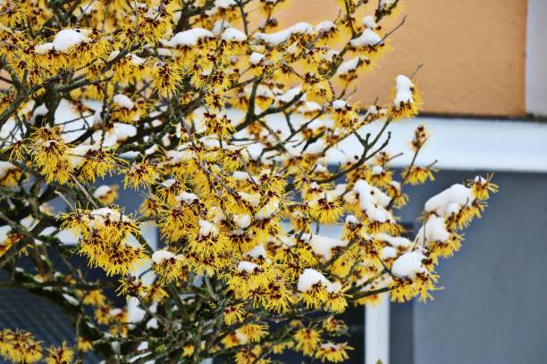 Hamamelis virginiana blossom covered with snow. Hamamelis virginiana bright yellow blossom covered with snow. Winter in Germany. Selected focus. saxifragales stock pictures, royalty-free photos & images