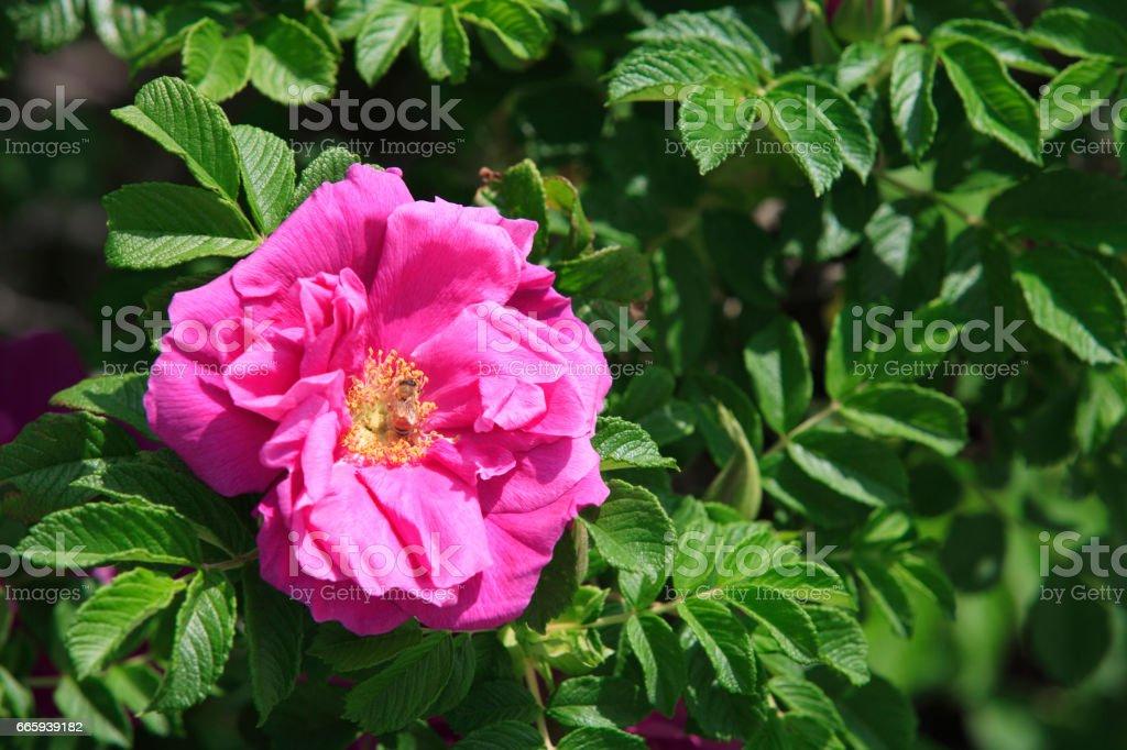 Hamanasu flowers and bees foto stock royalty-free