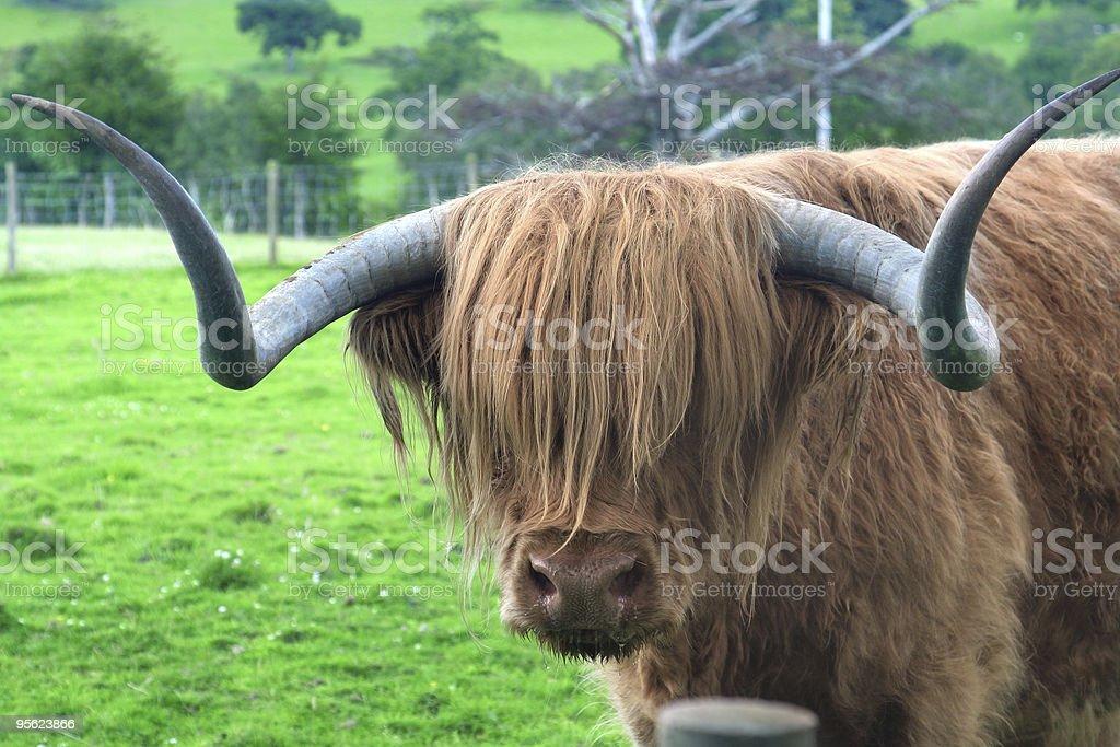 Hamish Highland bull - Photo