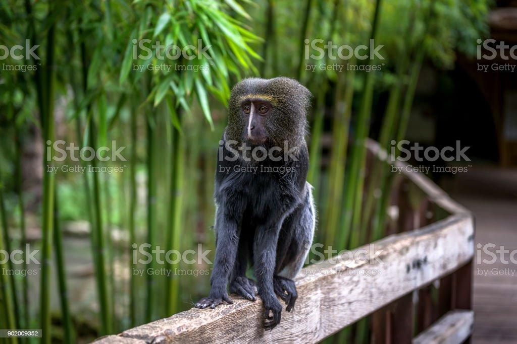 Hamlyn's (owl-faced) monkey sits on a fence. stock photo