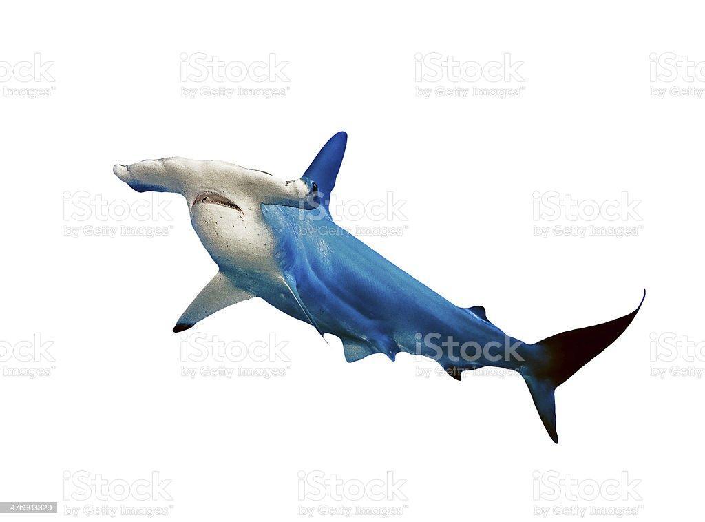 Hammer Head Shark Isolated on White Background stock photo