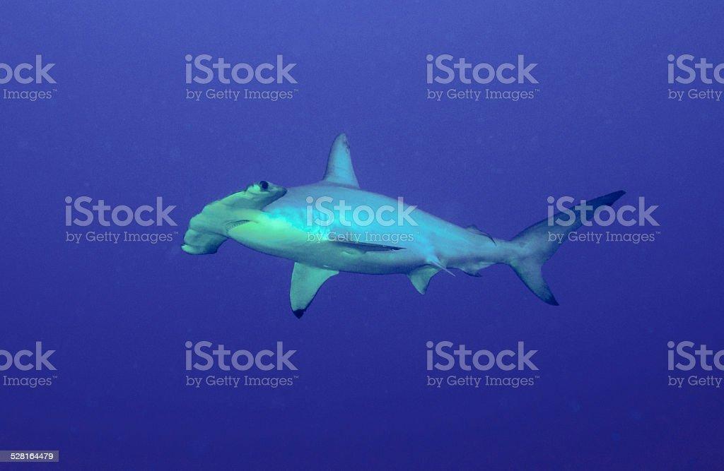 Hammer head Shark stock photo