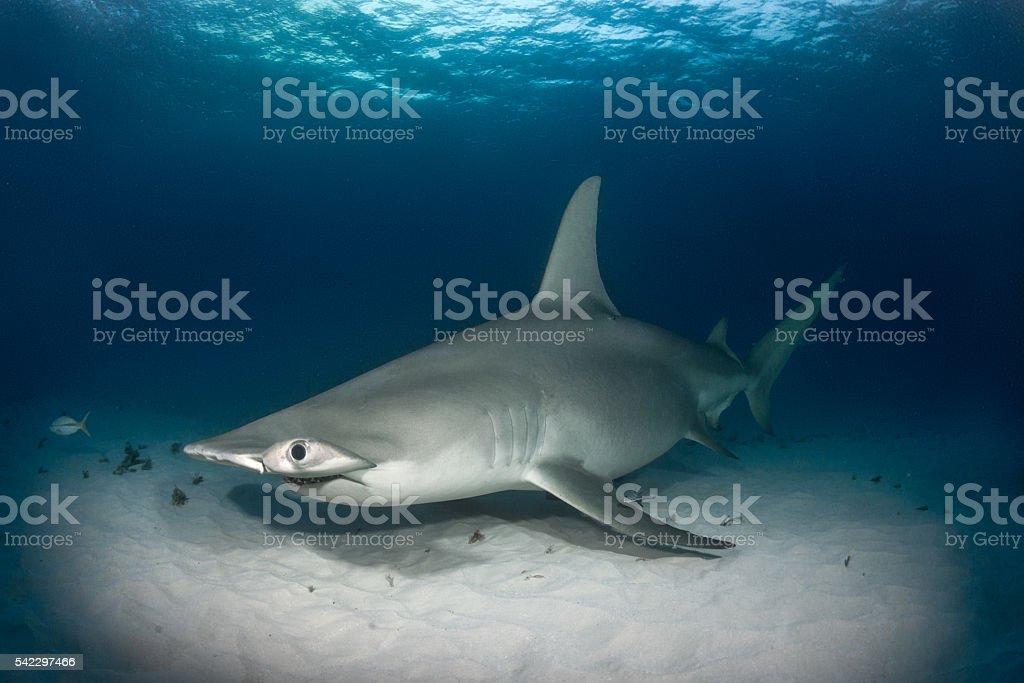 Hammerhead shark on the ocean floor stock photo
