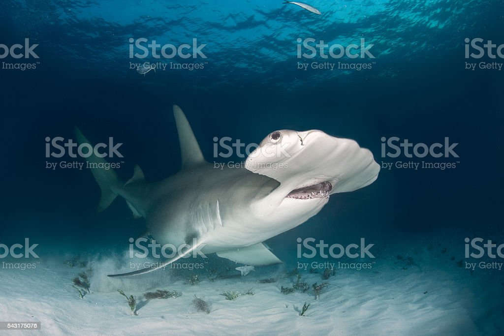 Hammerhead shark on the ocean floor stock photo