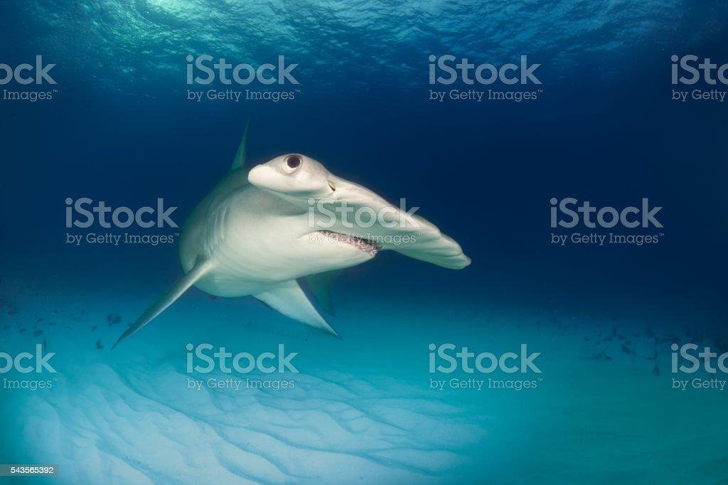 Pesce Martello Sulloceano Piano Fotografie Stock E Altre Immagini
