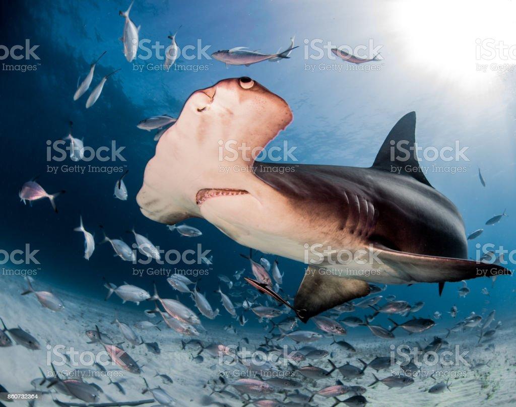 Hammerhead Shark stock photo