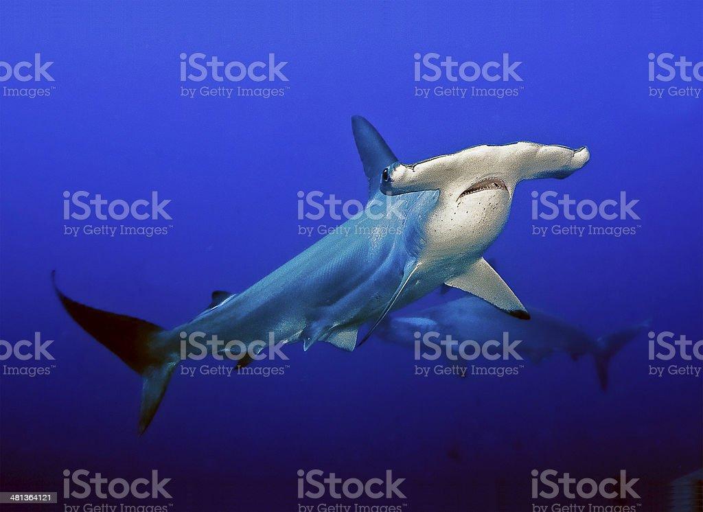 Hammerhead Shark swimming in open water. stock photo
