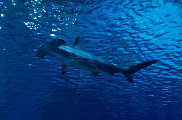Hammerhead shark under surface stock photo