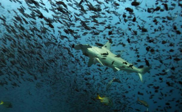 Hammerhead sharks of Galapagos stock photo
