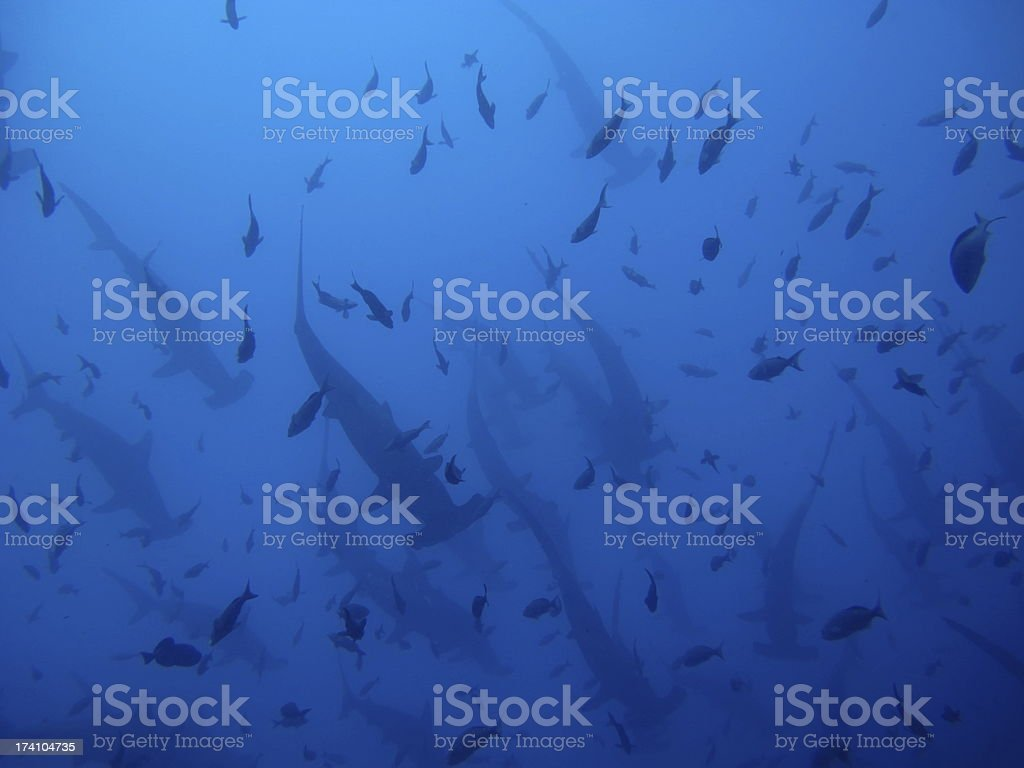 Hammerhead Sharks royalty-free stock photo