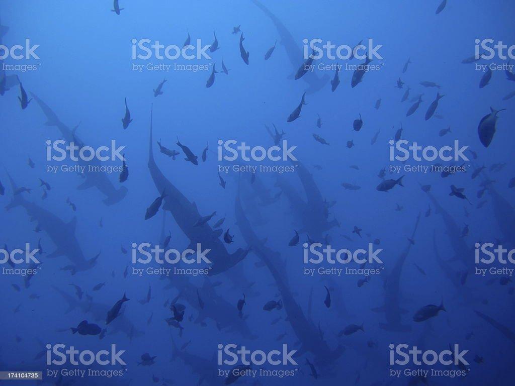 Hammerhead Sharks stock photo