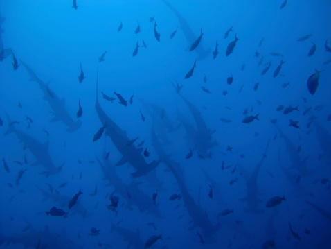 Hammerhead Sharks Stock Photo - Download Image Now