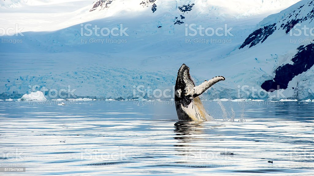 Hampback whale breaching jumping Hampback whale breaching jumping  in Antarctica picture from boat Alaska - US State Stock Photo