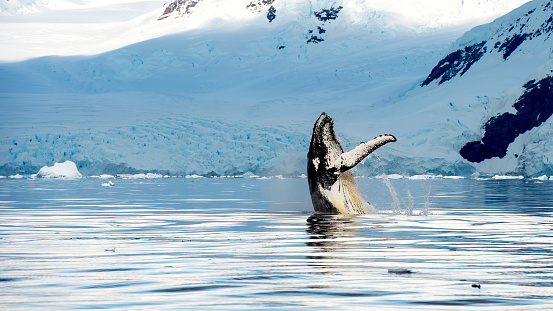 Hampback Whale Breaching Jumping Stock Photo - Download Image Now