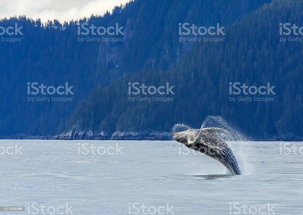 Hampback Whale breaching stock photo