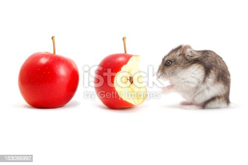 Very hungry hamster and apples