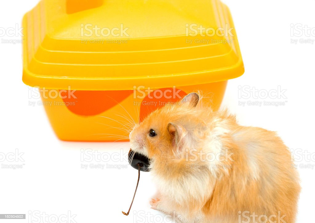 hamster and house stock photo